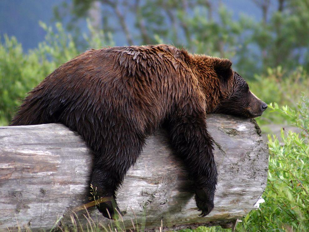 что смешные фото с медведями всего конструкций
